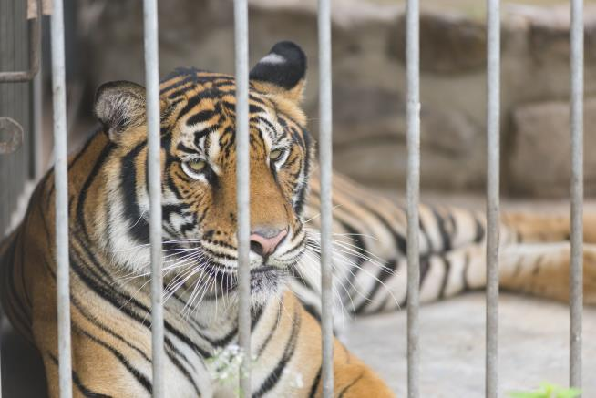 Guys go into abandoned house to smoke pot, find caged tiger instead