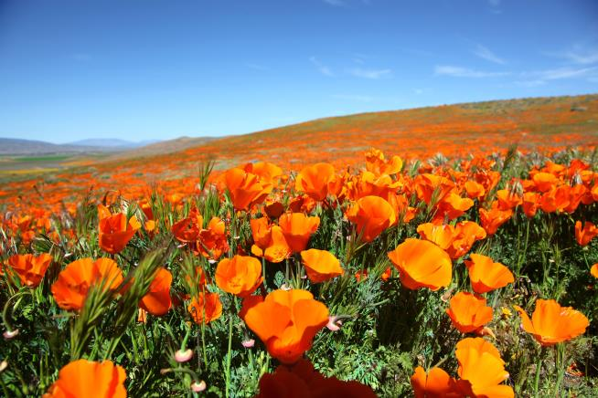 Walker Canyon, California, Shuts Visitors Out After Poppy Fields Get Trampled