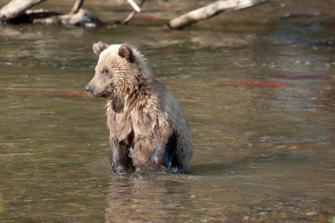 Emaciated grizzly bears photographed before hibernation as Canada's salmon population declines
