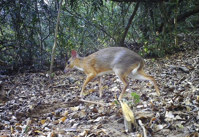 Rare deer-like species photographed in Vietnam