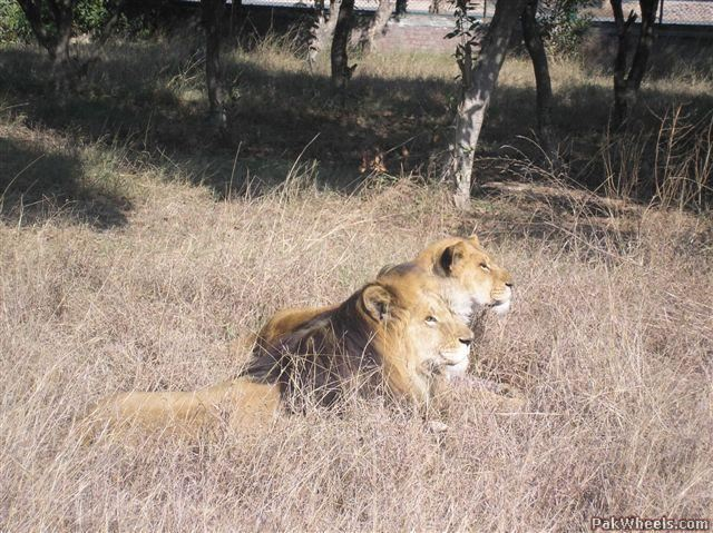 Missing teen found dead inside lion's cage at Lahore zoo