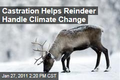 Castration Helps Reindeer Handle Climate Change