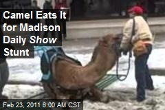 Camel Eats It for Madison Daily Show Stunt