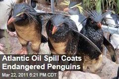 Oil Spill Coats Endangered Penguins in South Atlantic