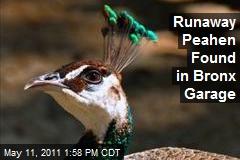 Runaway Peahen Found in Bronx Garage