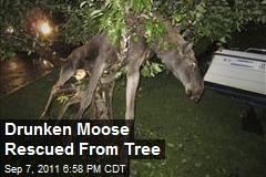 Drunken Elk Rescued From Tree