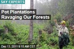 Marijuana Plantations Ravaging National Forests: Experts