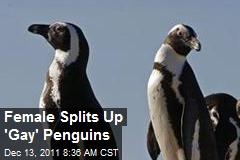 Female Splits Up 'Gay' Penguins