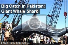 Big Catch in Pakistan: Giant Whale Shark