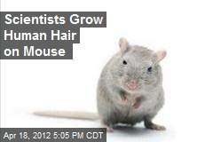 Scientists Grow Human Hair on Mouse