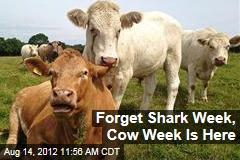 Forget Shark Week, Cow Week Is Here