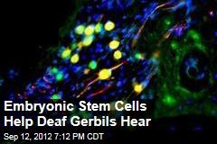 Embryonic Stem Cells Help Deaf Gerbils Hear