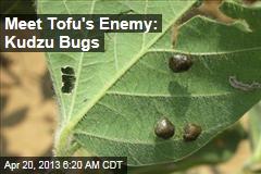 Meet Tofu's Enemy: Kudzu Bugs