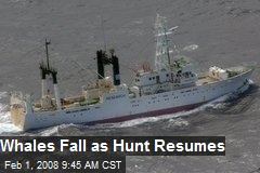 Whales Fall as Hunt Resumes