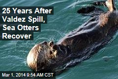 25 Years After Valdez Spill, Sea Otters Recover