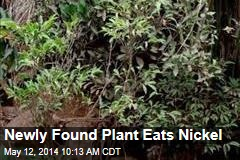 Newly Found Plant Eats Nickel