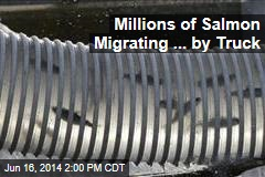 Millions of Salmon Migrating ... by Truck