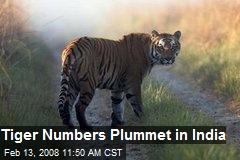 Tiger Numbers Plummet in India