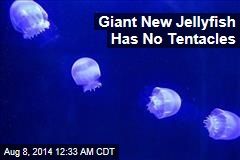 Giant New Jellyfish Has No Tentacles