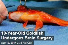 10-Year-Old Goldfish Undergoes Brain Surgery