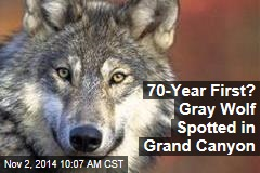 70-Year First? Gray Wolf Spotted in Grand Canyon