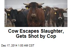 Cow Escapes Slaughter, Gets Shot by Cop