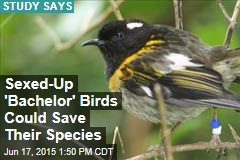 Sexed-Up 'Bachelor' Birds Could Save Their Species