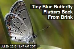 Tiny Blue Butterfly Flutters Back From Brink
