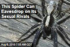 When Courting, Spiders Eavesdrop on the Competition