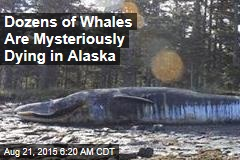 Dozens of Whales Are Mysteriously Dying in Alaska