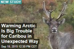 Warming Arctic Is Big Trouble for Caribou in Unexpected Way