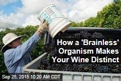 How a 'Brainless' Organism Makes Your Wine Distinct