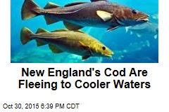 New England's Cod Are Fleeing to Cooler Waters