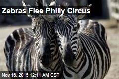 Zebras Flee Philly Circus