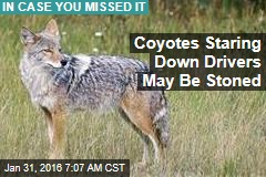 Coyotes Staring Down Calif. Drivers, May Be Trippin'