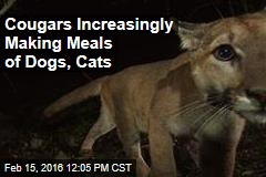 Cougars Increasingly Making Meals of Dogs, Cats