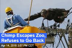 Chimp Escapes Zoo, Refuses to Go Back