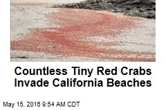 Scores of Tiny Red Crabs Invade California Beaches