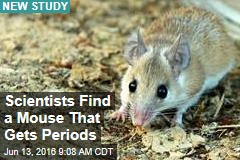 Scientists Find a Mouse That Gets Periods