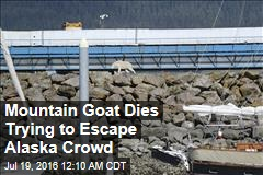 Mountain Goat Dies Trying to Escape Alaska Crowd