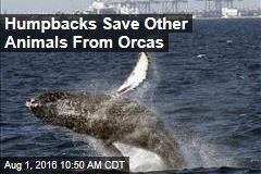 Humpbacks Save Other Animals From Orcas