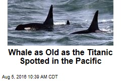 Whale as Old as the Titanic Spotted in the Pacific