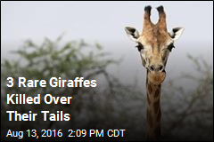 3 Rare Giraffes Killed Over Their Tails