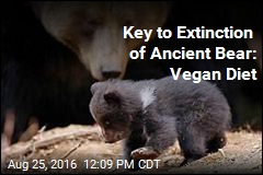 Key to Extinction of Ancient Bear: Vegan Diet