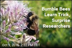 Bumble Bees Learn Trick, Surprise Researchers