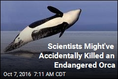 Scientists Might've Accidentally Killed an Endangered Orca