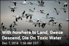 Thousands of Geese Die in Montana Mine Pit