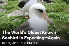 The World's Oldest Known Seabird Is Expecting—Again