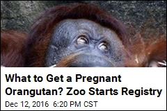 What to Get a Pregnant Orangutan? Zoo Starts Registry