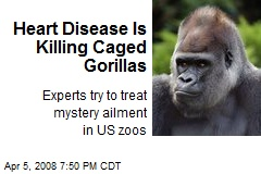 Heart Disease Is Killing Caged Gorillas